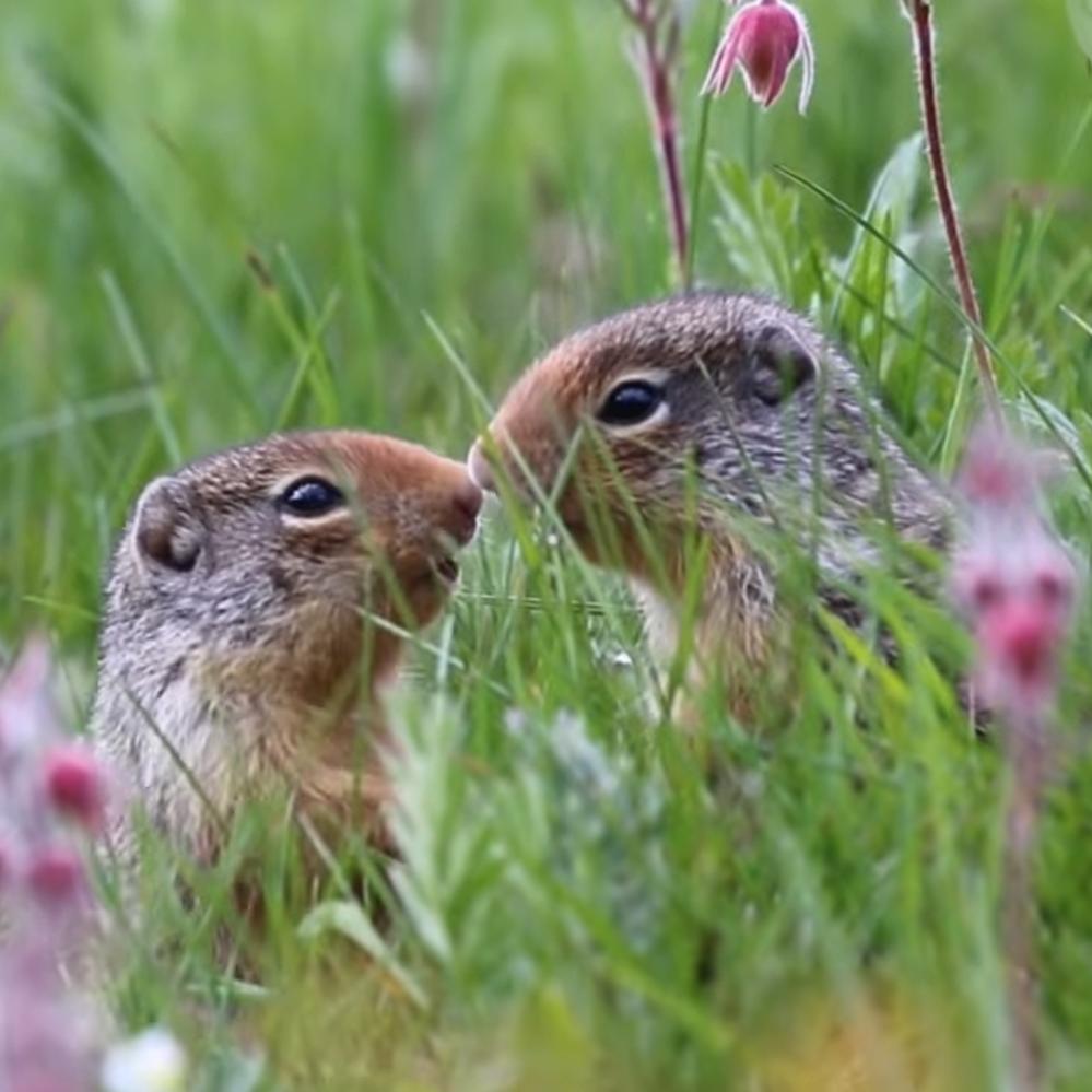Au cœur du réseau – querelles de voisinage chez les écureuils terrestres